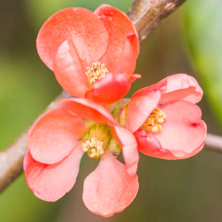 anther: A macro shot of some pink quince bush blossom.