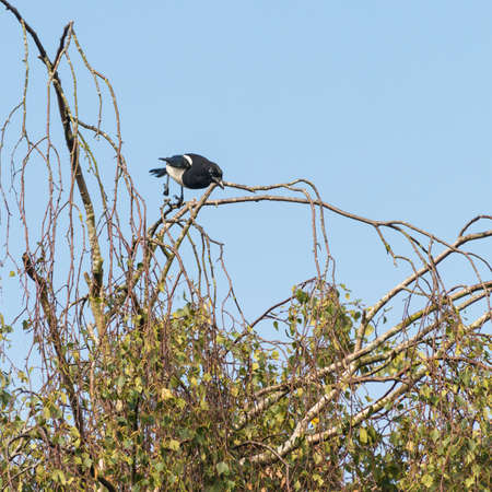 cuervo: A shot of a magpie diving from a tree.