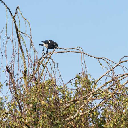 cuervo: Un disparo de un salto del urraca de un �rbol.
