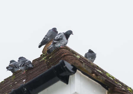 feral: A shot of some feral pigeons sitting on a rooftop.