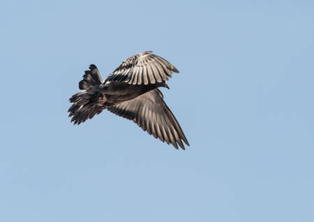 feral: A shot of a feral pigeon taking flight.