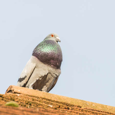 feral: A shot of a feral pigeon sitting on a rooftop.