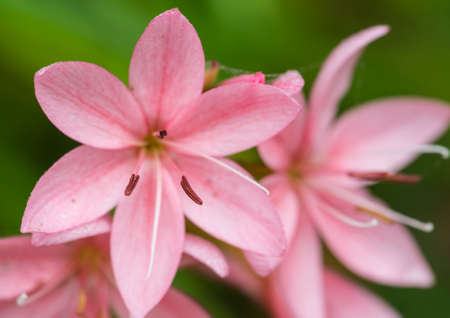 anther: A macro shot of a cluster of pink lillies.