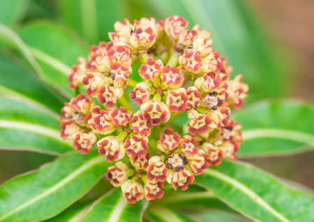pieris: A macro shot of some pieris bush flower buds.