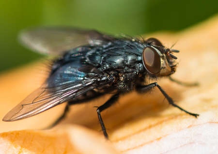 diptera: A macro shot of a fly sitting on an old camellia bloom petal. Stock Photo