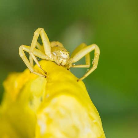 flower  crab  spider: A macro shot of a crab spider.