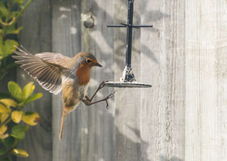 A shot of a robin grabbing at some bird food while hovering next to a bird feeder.