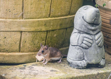animal mole: A shot of a mouse with a piece of bread in its mouth, next to a garden ornament.