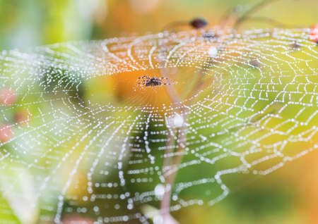 creepy crawly: A garden spider sits in the centre of a dewdrop covered web.