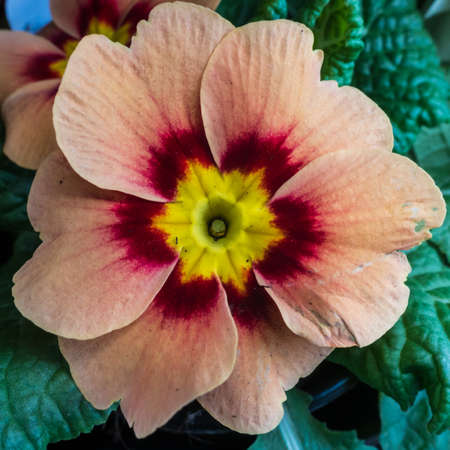 anther: A macro shot of a salmon pink coloured primula.