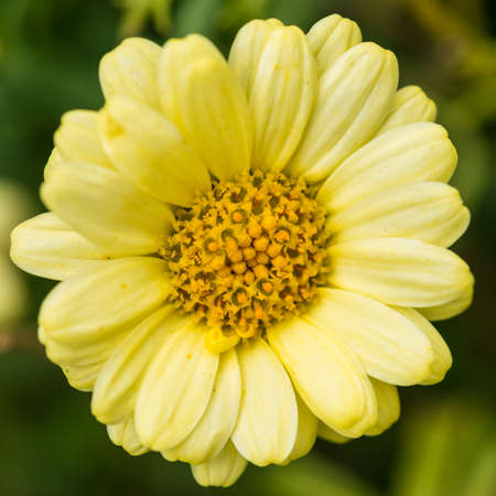 argyranthemum: A macro shot of a yellow argyranthemum bloom.