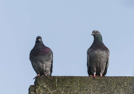 feral: A shot of two feral pigeons standing on a rooftop. Stock Photo