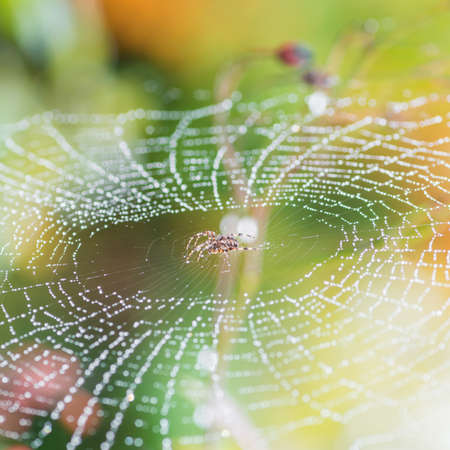 spider web: A garden spider sits in the centre of a dewdrop covered web.