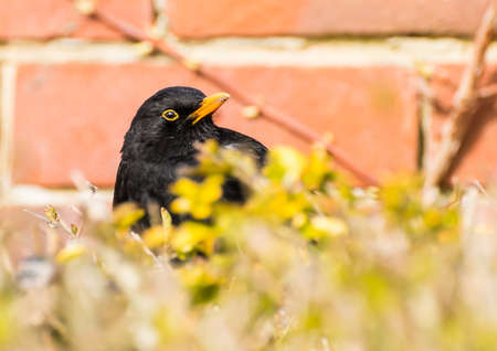 poking: A male blackbird sits in a hedge with his head poking out at the top.