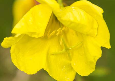 evening primrose: A macro shot of an evening primrose bloom.