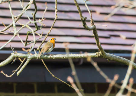 red breast: A robin red breast sits in the branches of a tree and sings.