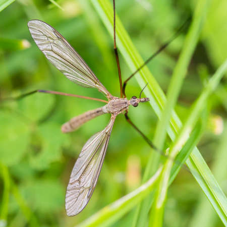 crane fly: A macro shot of a crane fly amongst some blades of grass.