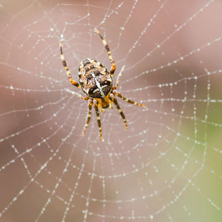 creepy crawly: A macro shot of a garden spider. Stock Photo