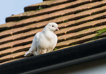 white dove: A shot of a white dove sitting on a rooftop.