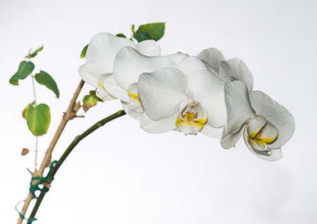 orchid house: A macro shot of a white orchid against a white background. Stock Photo