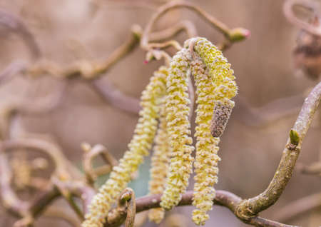 hazel: A macro shot of some twisted hazel tree catkins. Stock Photo