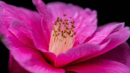 A macro shot of a pink camellia bush bloom. Stock Photo