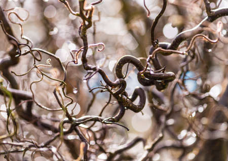 corylus: A shot of the twisted branches of a corkscrew hazel tree.