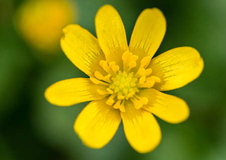 anther: A macro shot of a celandine bloom.