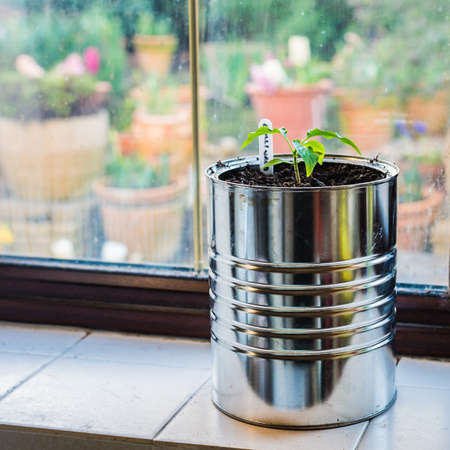 vegetable tin: A shot of a chilli plant sitting in a makeshift plant pot. Stock Photo