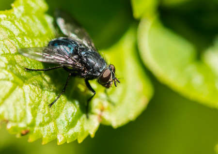 diptera: A macro shot of a fly sitting on a green leaf. Stock Photo