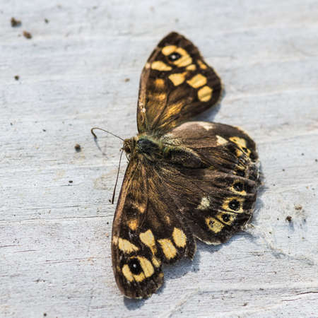 speckled wood: A macro shot of a dead speckled wood butterfly. Stock Photo