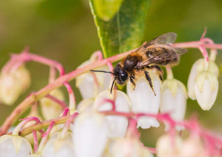 creepy crawly: A macro shot of a small bee standing on the flowers of a forest flame bush.