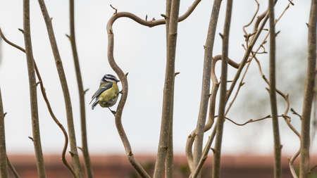 albero nocciola: Un colpo di un tit blu che si siede in una posizione perfetta all'interno di un nocciolo contorto. Archivio Fotografico