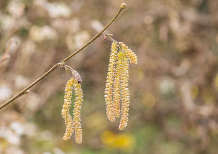 hazel tree: A macro shot of catkins from a twisted hazel tree. Stock Photo