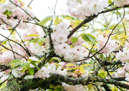 white blossom: White blossom from within the branches of a cherry tree. Stock Photo