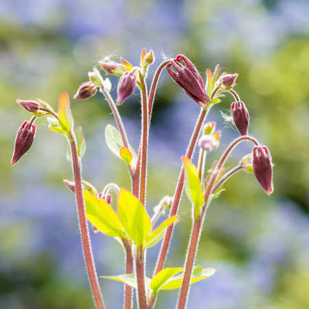 aquilegia: A macro shot of the flower buds of an aquilegia variety named winky rose.