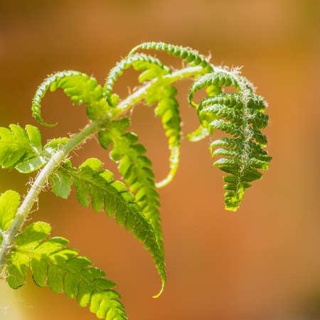 unfurling: A macro shot of an unfurling fern frond. Stock Photo