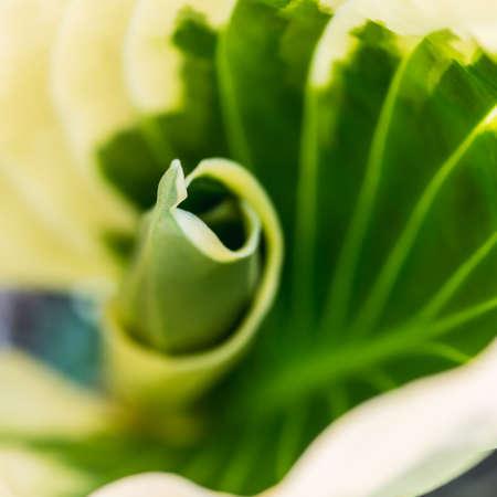 hosta: A macro shot of a hosta leaf.