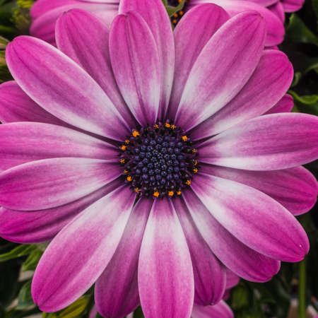 anther: A macro shot of a beautiful pink osteospermum bloom.