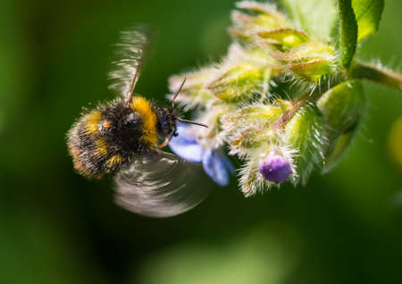 creepy crawly: A macro shot of a hovering bumblebee collecting pollen from a green alkanet bloom. Stock Photo