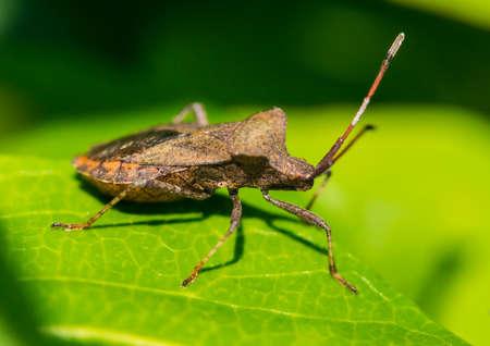 shieldbug: A macro shot of a dock bug sitting on a green leaf.