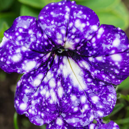 anther: A macro shot of a petunia night sky bloom.