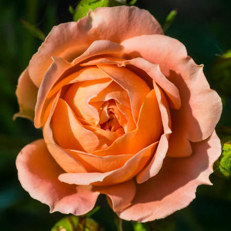 rose coloured: A macro shot of a salmon pink coloured rose. Stock Photo