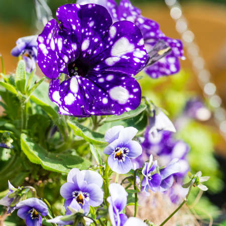 hanging basket: A macro shot of a petunia and some viola blooms in a hanging basket. Stock Photo