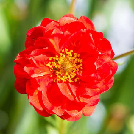 silhouette fleur: Une photo macro d'un geum rouge floraison.