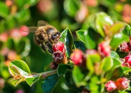 creepy crawly: A macro shot of a honey bee collecting pollen from a cotoneaster bloom. Stock Photo