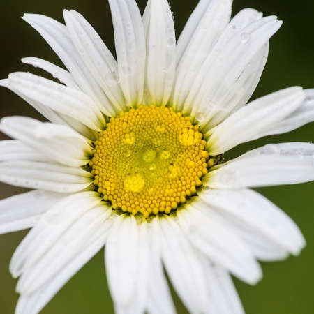 ox eye: A macro shot of an ox eye daisy.