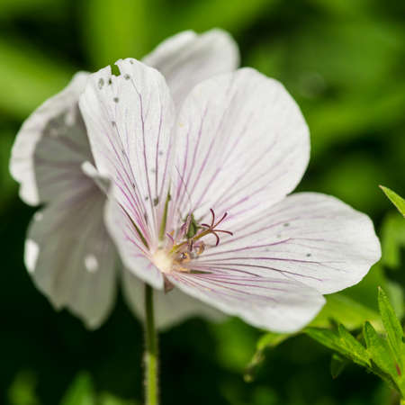 hardy: A macro shot of a hardy geranium bloom.