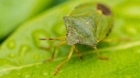 palomena: A macro shot of a green shield bug sitting on a green leaf.