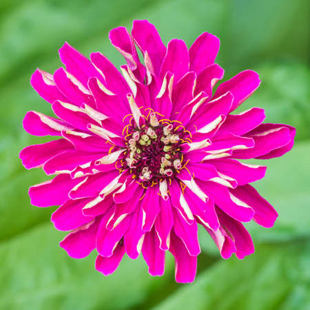 anther: A macro shot of a pink zinnia bloom.